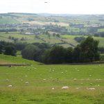 Walking to Stanton in Peak - Sheep in the field