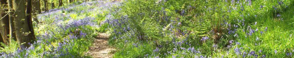 Bluebell woods near Stanton Lees